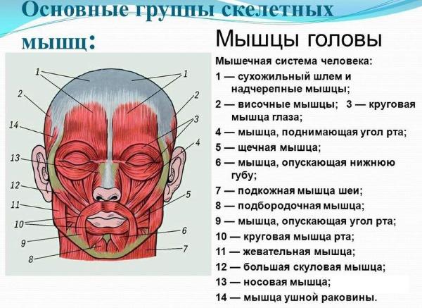 Анатомия мышц лица человека в косметологии для инъекций ботокса. Схемы с описанием и фото на латинском и русском