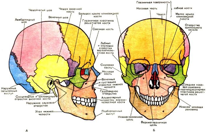 Анатомия лица для косметологов. Мышцы, нервы, послойная кожа, связки, жировые пакеты, иннервация, череп. Схемы, описание
