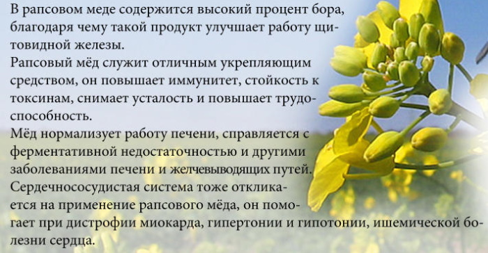 Рапсовый мед. Полезные свойства, лечебные, как употреблять, противопоказания