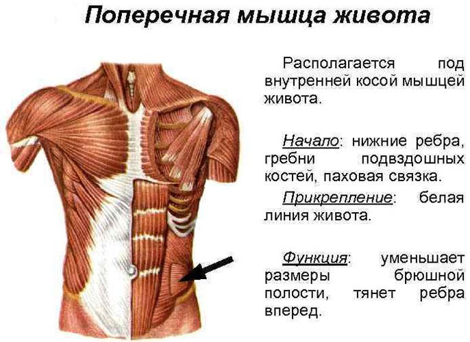 Поперечная мышца живота. Анатомия, функция, тренировка пресса