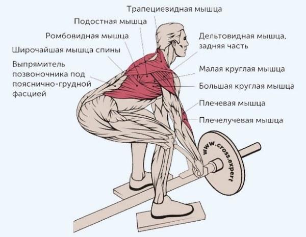 Тяга Т-грифа в наклоне. Какие мышцы работают, техника выполнения